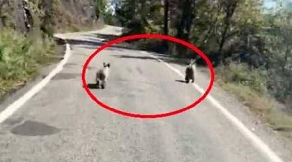 Ayancık yolunda yavru ayılar böyle görüntülendi